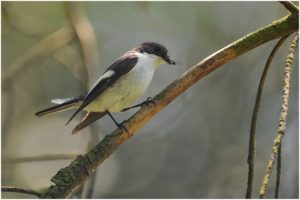 bonte-vliegenvanger