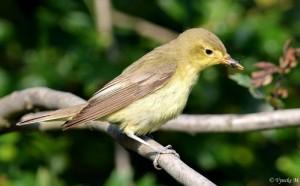 2016-05-24 Spotvogel Marnix Vyncke